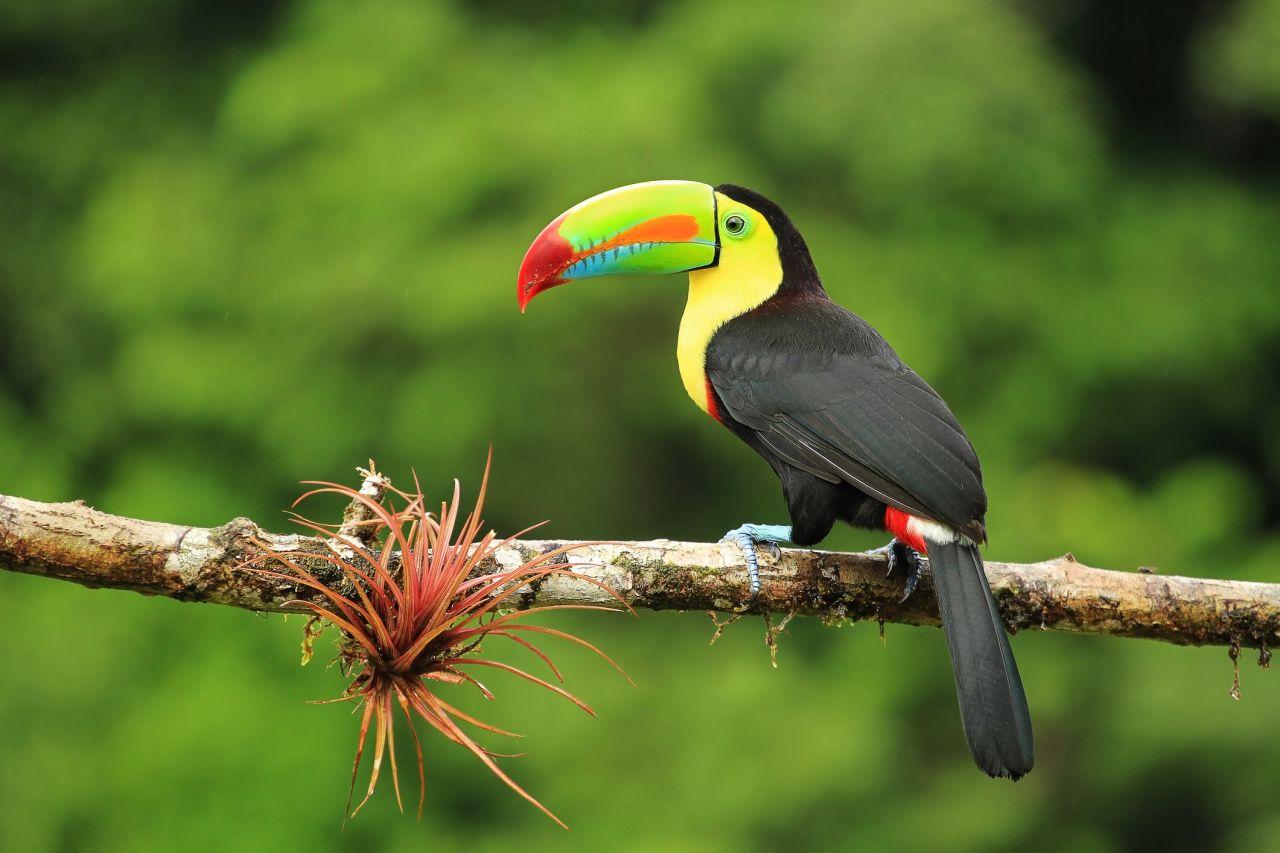 Tukan lebt im Regenwald