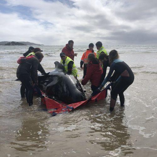 Wal gestrandet Tasmanien