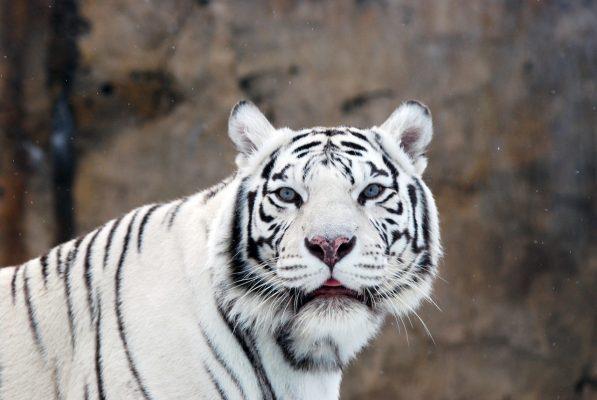 Weißer Tiger. Weißes Fell und blaue Augen. Kein Albinismus! Albinismus im Tierreich