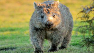Wombat in Tasmanien
