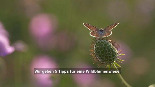 5 Tipps für eine Wildblumenwiese