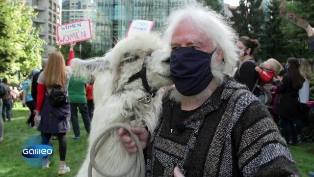 Das No Drama Lama: Wie ein Lama Menschen bei Demos beruhigen soll
