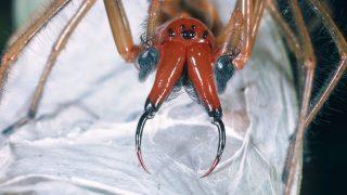Ammen-Dornfinger-Spinne im Nest