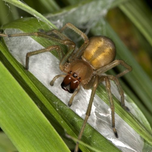Ammen-Dornfinger-Spinne mit Nest