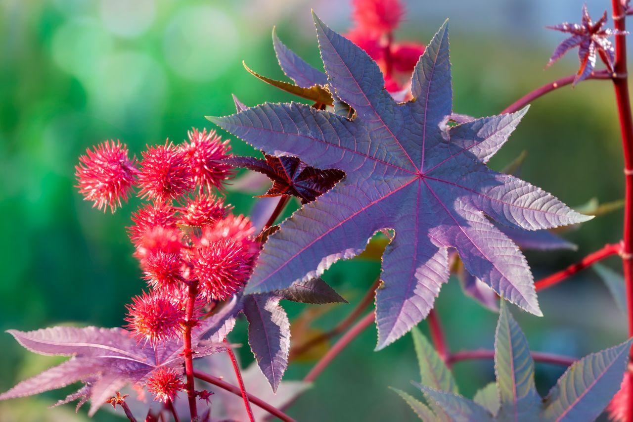 Blätter des Rizinus-Baum