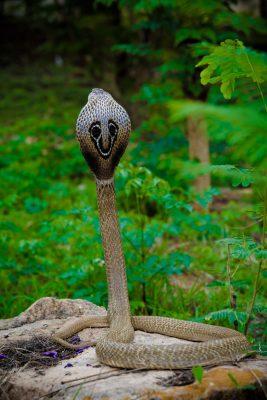 Brillenschlange im Dschungel
