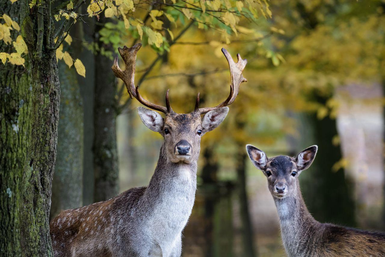 Ein Damwald-Hirsch mit seinem Jungen