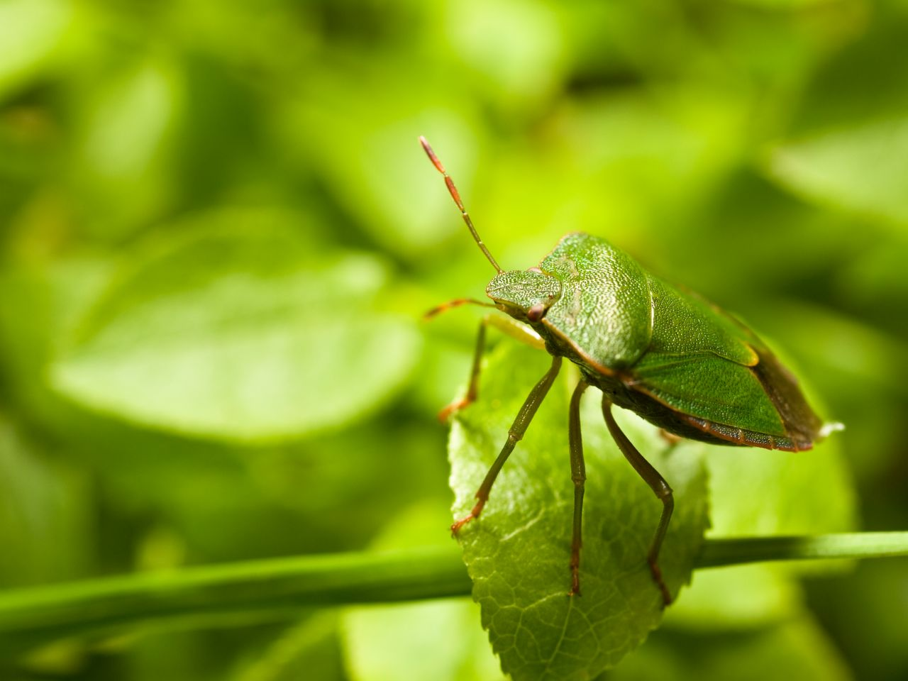 Die grüne Stinkwanze sitzt gut getarnt auf einem Blatt.