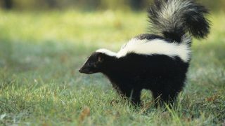 Ein Stinktier steht auf dem Rasen.