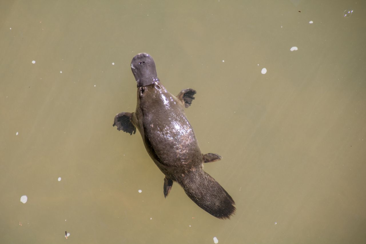 Schnabeltier schwimmt im Wasser