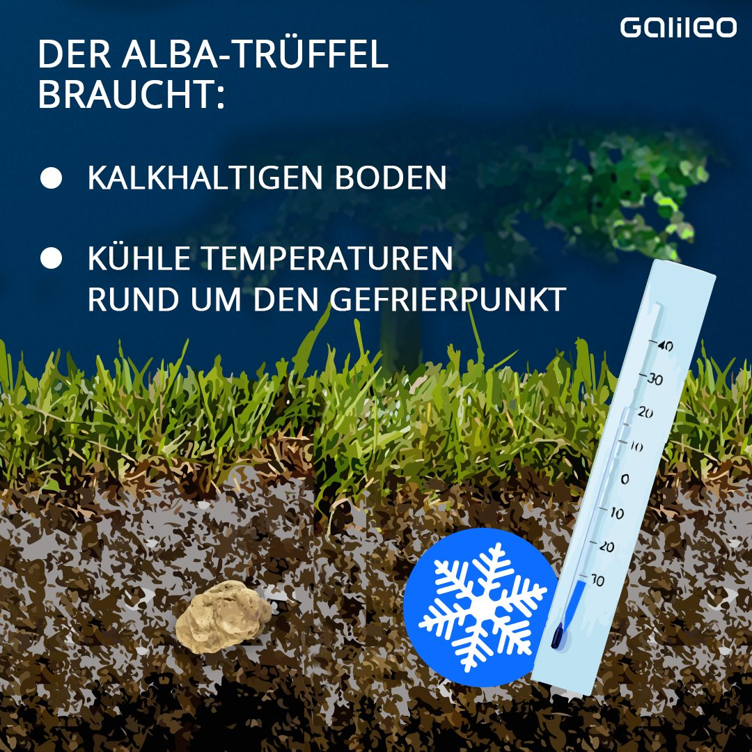 Temperaturen Alba Trüffel