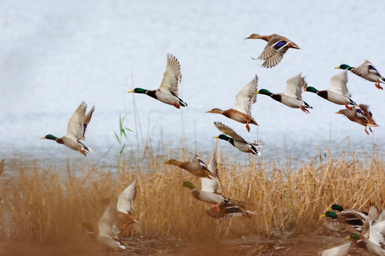 Wildenten fliegen hoch