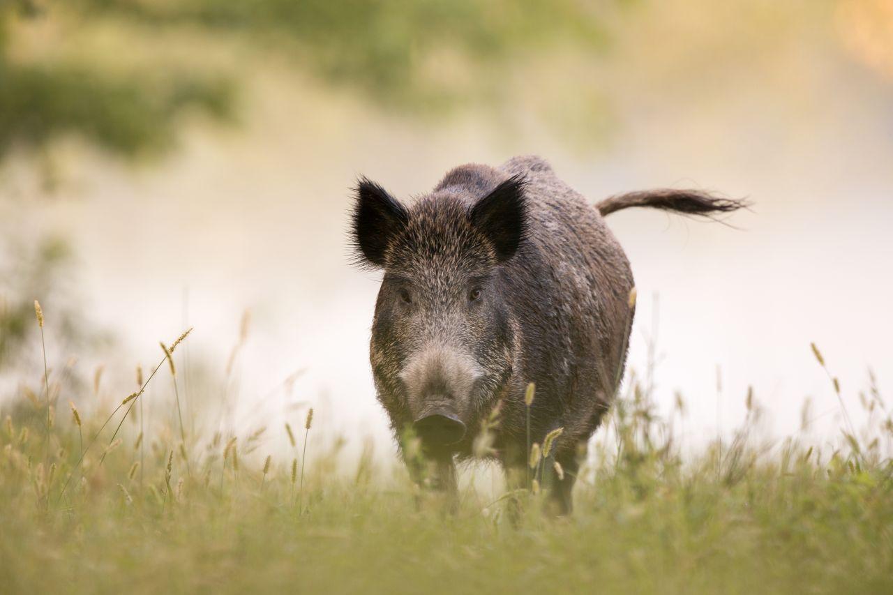 Ein Wildschwein läuft über ein Wiese
