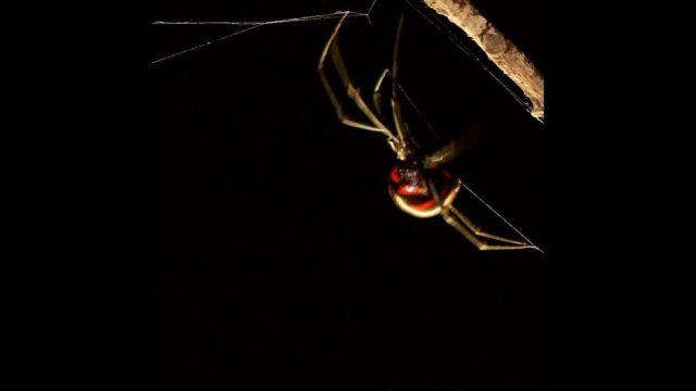 Schwarze Witwe und Co.: Verrückte Fakten über Spinnen - 10s