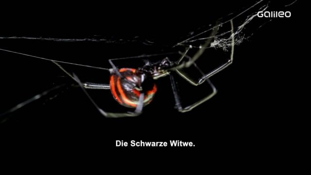 Schwarze Witwe und Co.: Verrückte Fakten über Spinnen