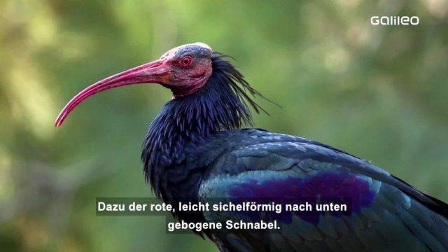 Waldrapp: Eine fast ausgestorbene Vogelart kehrt zurück