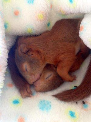 Eichhörnchen Widtierrettung