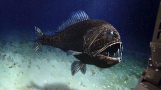 Fangzahnfisch