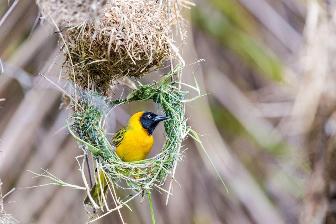 Afrikanischer Webervogel in seinem Nest