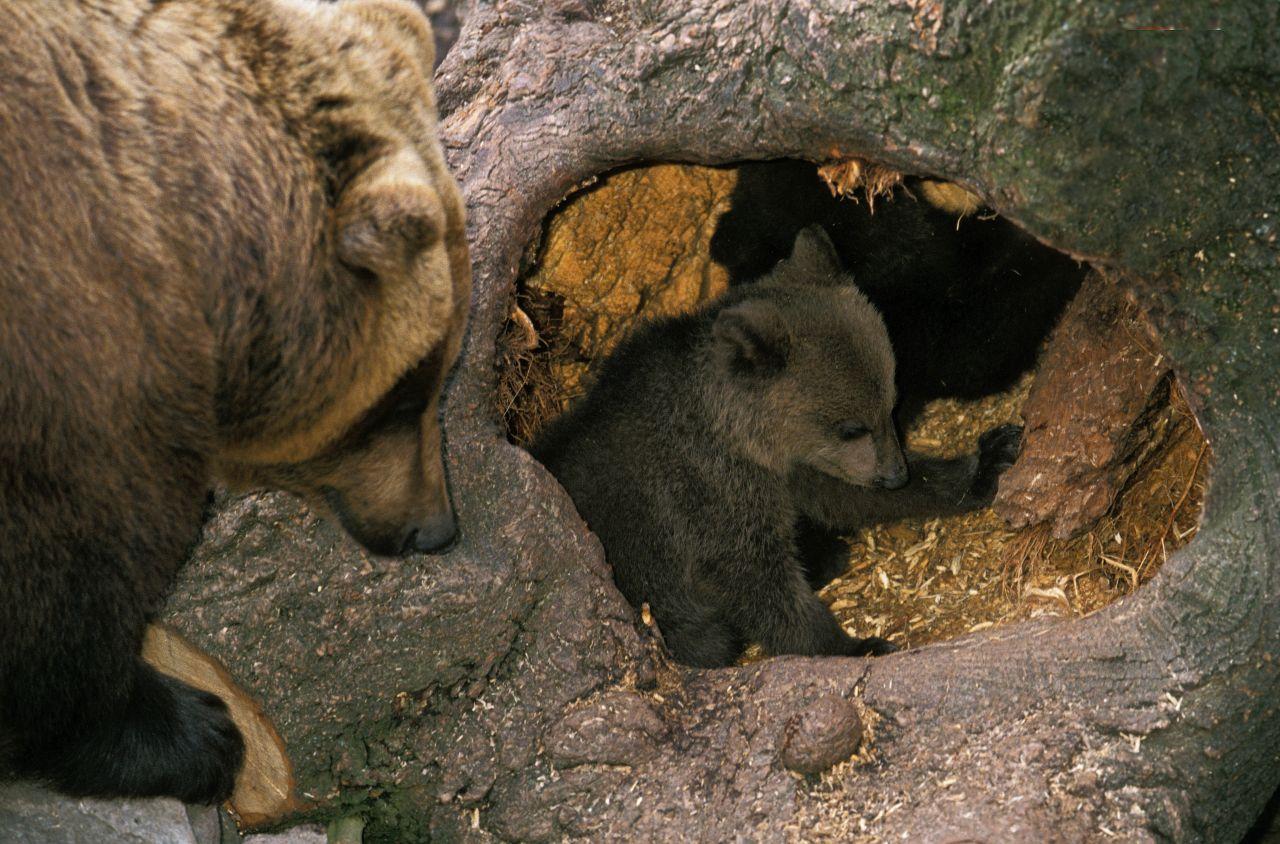 Bären in ihrer Unterkunft
