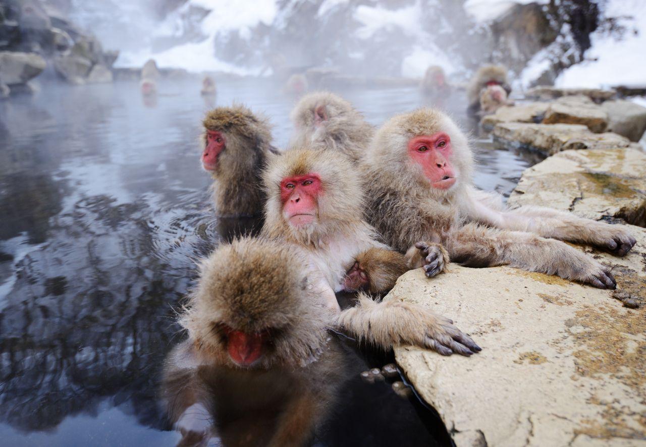 Japanmakaken in einer heißen Quelle