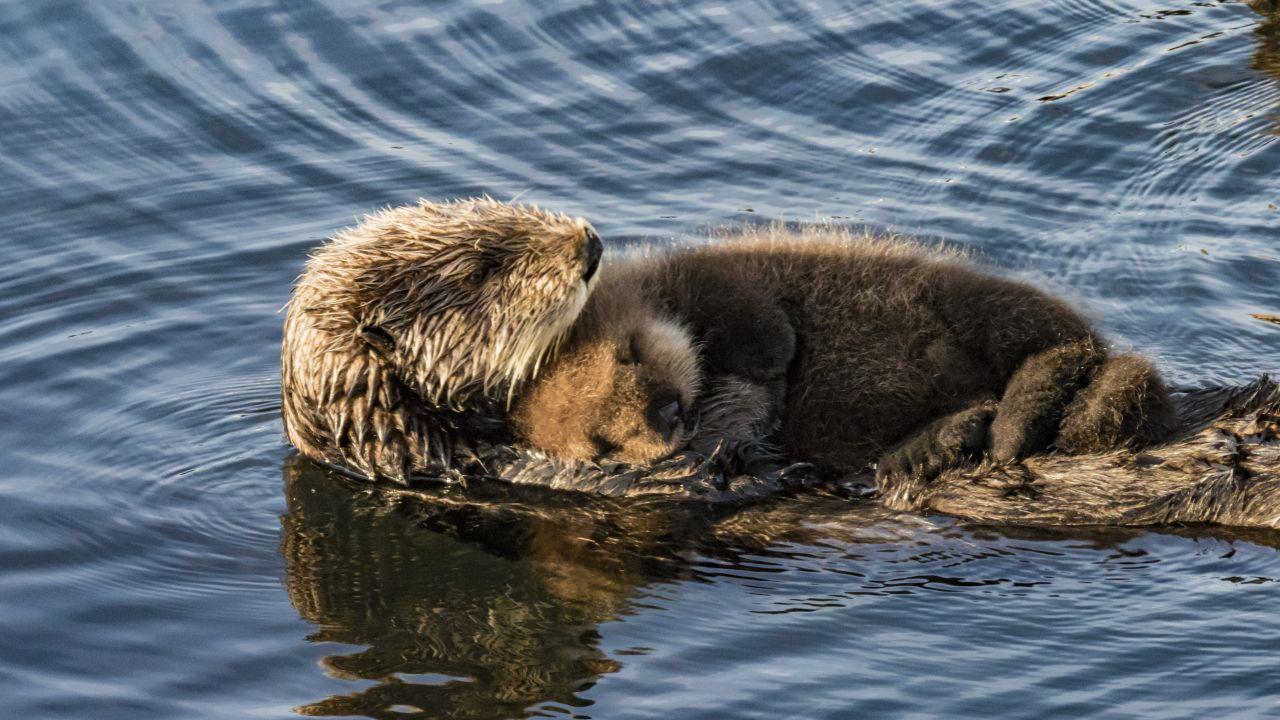 Seeotter schlafen im Wasser