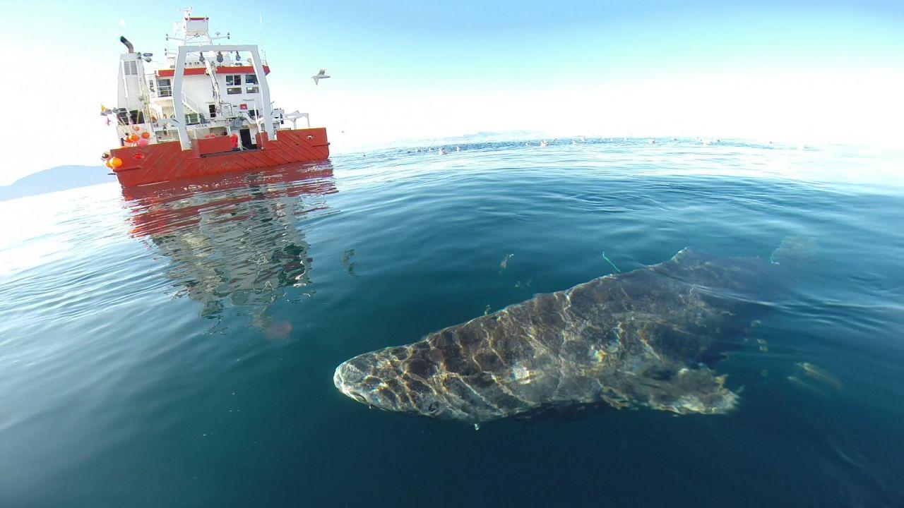 Da der Grönlandhai Wassertemperaturen um 6 Grad Celsius bevorzugt, sieht man sie selten an der Wasseroberfläche.
