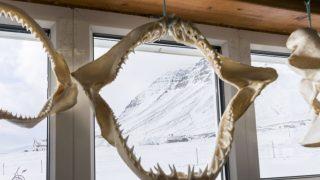 Grönlandhai: Zähne hat das Raubtier viele: rund 100 im Ober- und Unterkiefer. Die dreieckigen Zähne sind spitz und ideal, um Beute aufzuspießen.