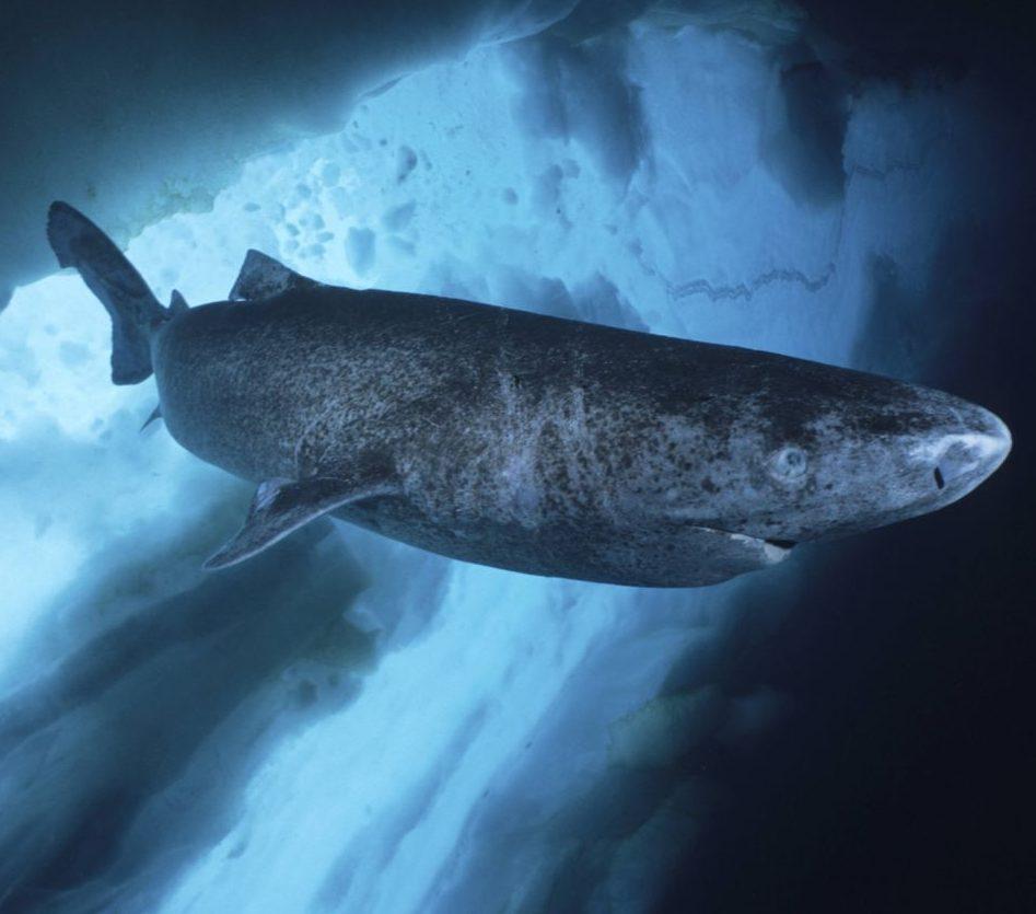 Der Grönlandhai: 500 Jahre alt, riesig und sehr träge