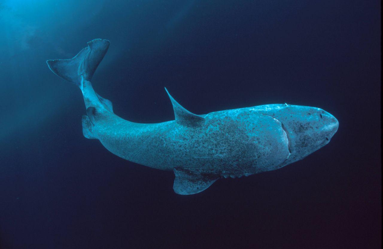 Die Form der Eishaie erinnert an einen weißen Hai. Die Flossen sind aber kleiner und die Schwanzflosse asymmetrisch.