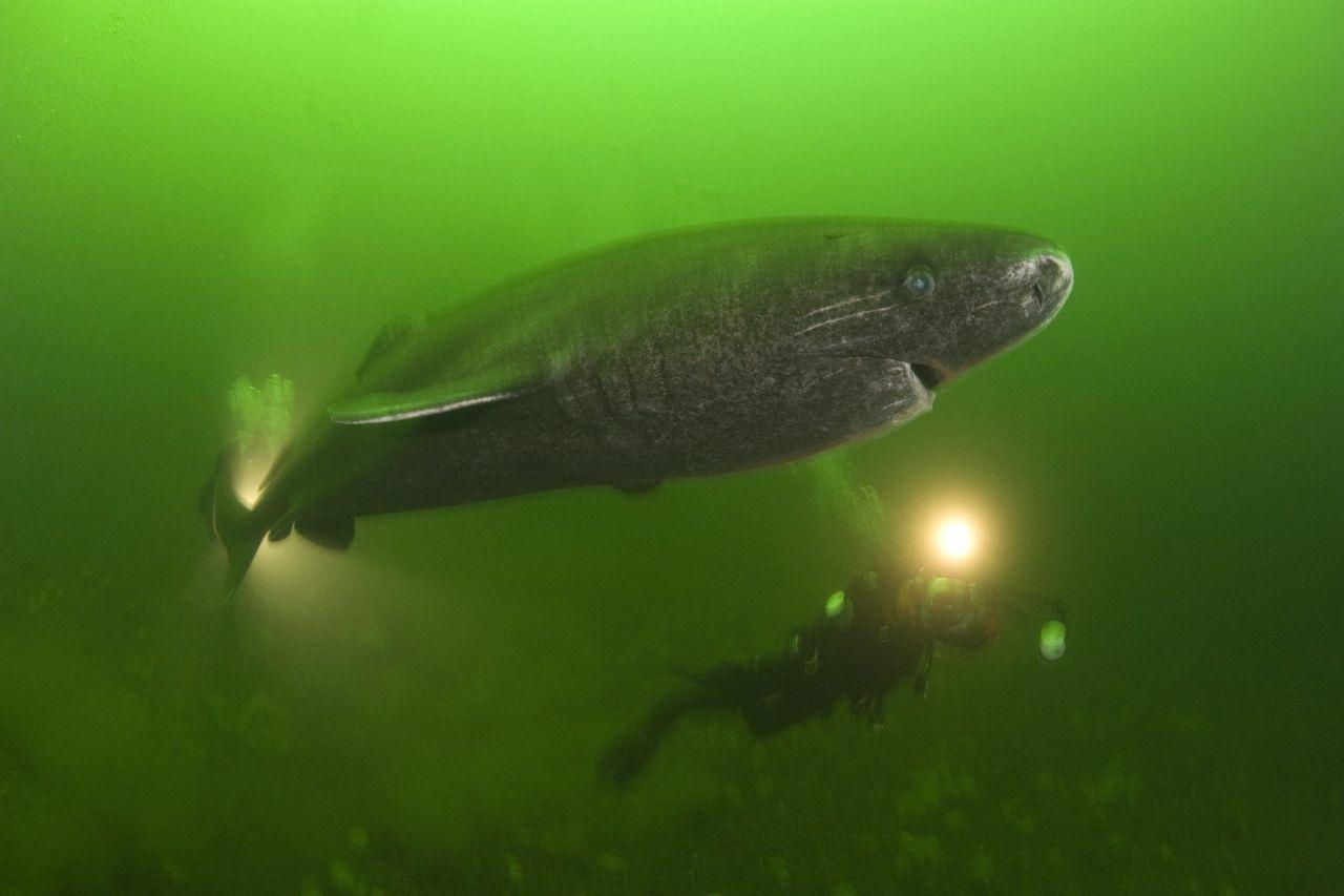 Grönlandhai mit Taucher