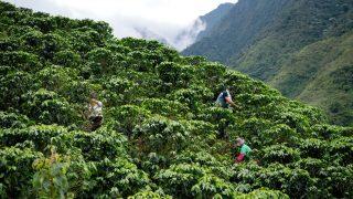 Ernte auf einer Kaffee-Plantage