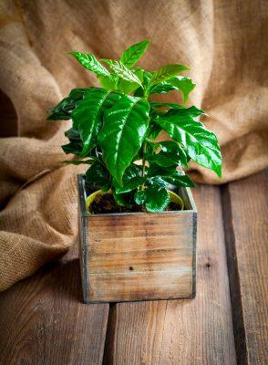 Kaffee-Pflanze zuhause