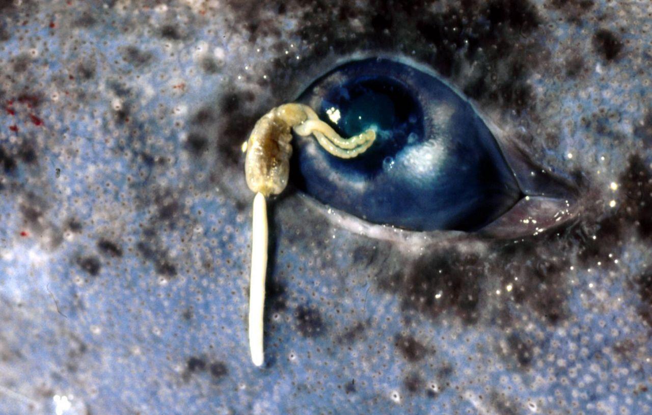 Grönlandhaie: Auge mit Parasit