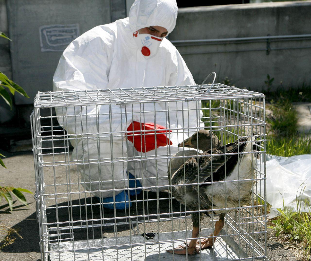 Die Vogelgrippe ist zurück: Ist sie diesmal auch gefährlich?