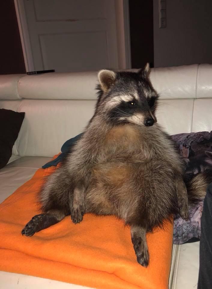 Waschbär auf der Couch