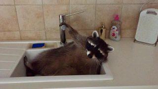 Waschbär im Waschbecken