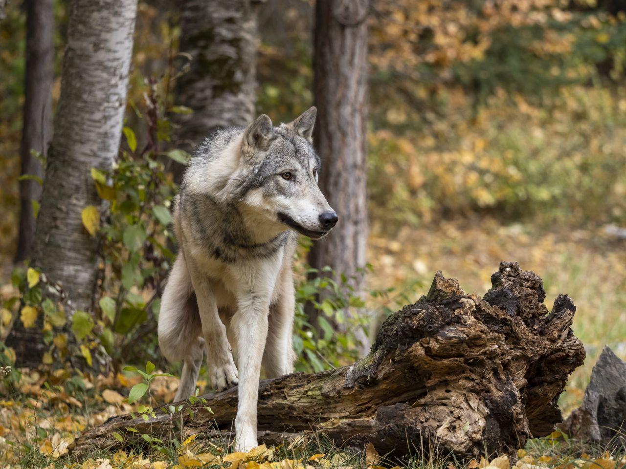 Wölfe in Deutschland: Wo leben sie?