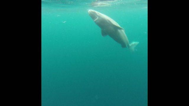Dem Grönlandhai auf der Spur - 10s
