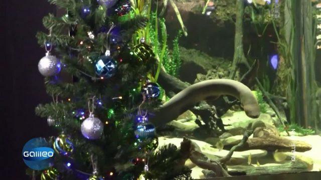 Dieser Fisch bringt einen Weihnachtsbaum zum Leuchten