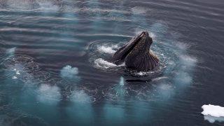 Buckelwal auf der Jagd