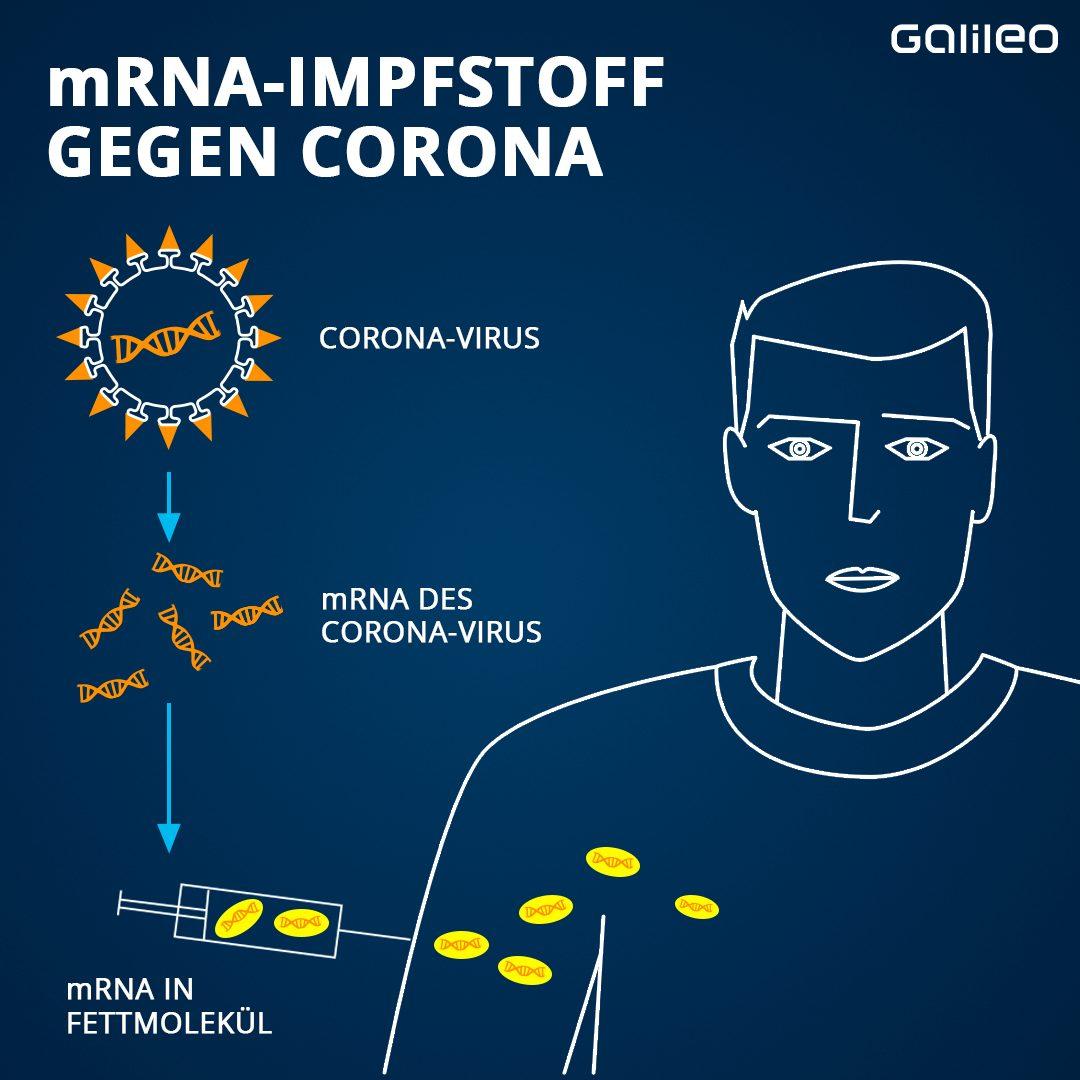 Auf der Oberfläche der Corona-Viren befinden sich kleine Proteine mit einer ganz spezifischen Form, die sogenannten Spike-Proteine. Dies nutzt man bei der Herstellung von mRNA-Impfstoffen. Zuerst identifizieren Forscher die mRNA im Corona-Virus, die diese Spike-Proteine herstellt und vervielfältigen sie dann im Labor. Im nächsten Schritt umhüllen sie die Kopien der mRNA mit Fett und impfen sie in den Oberarm-Muskel. Das Fett schützt die empfindliche RNA und erleichtert die Aufnahme ...