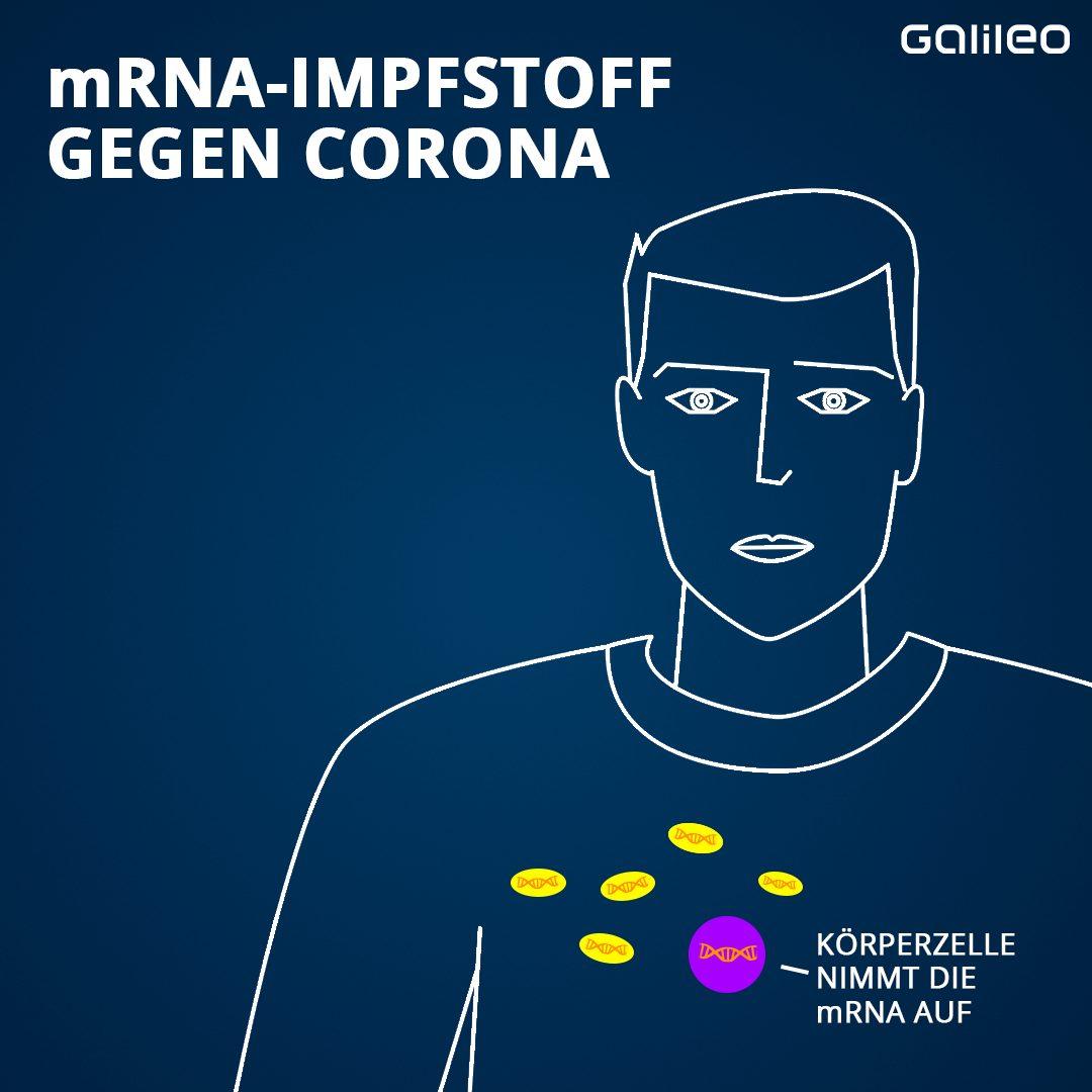 … in die Körperzellen. Diese nehmen die mRNA nämlich mit dem Bauplan für die Spike-Proteine aus dem Blut auf …