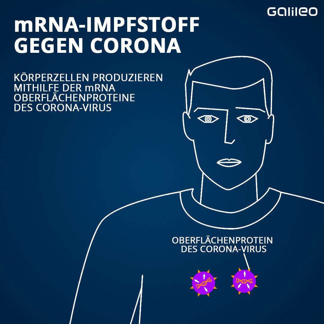 … und produzieren nach kurzer Zeit selbst Spike-Proteine. Diese sehnen genauso aus wie die auf den Corona-Viren.