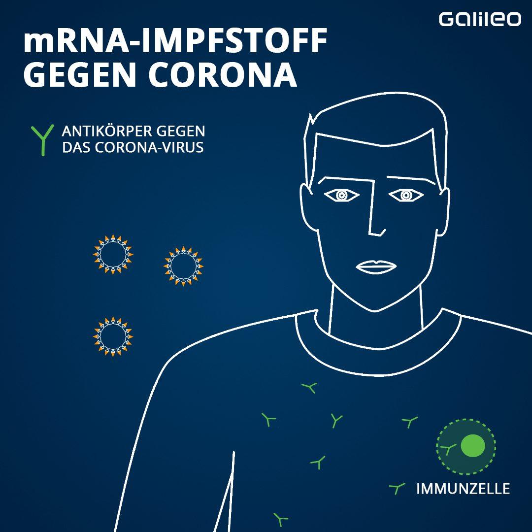 Wenn sich nun später der Geimpfte mit dem echten Corona-Virus infiziert, erkennt das Immunsystem sofort die Spike-Proteine und beginnt mit der Antikörper-Produktion.