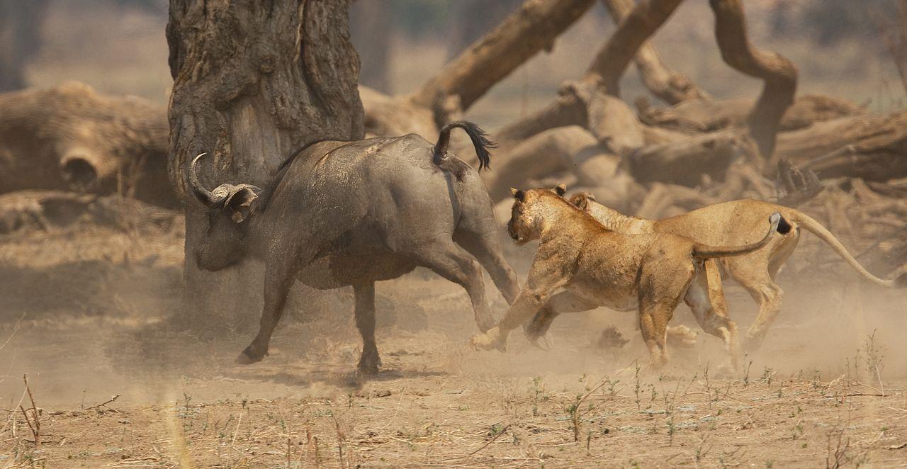 Löwen auf der Jagd