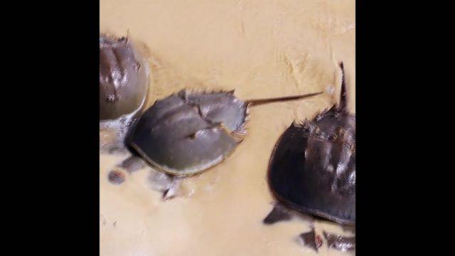 Pfeilschwanzkrebese: Diese Tiere retten Leben - 10s