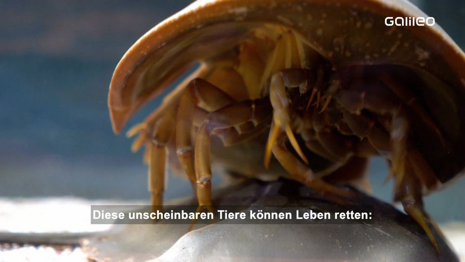Pfeilschwanzkrebese: Diese Tiere retten Leben