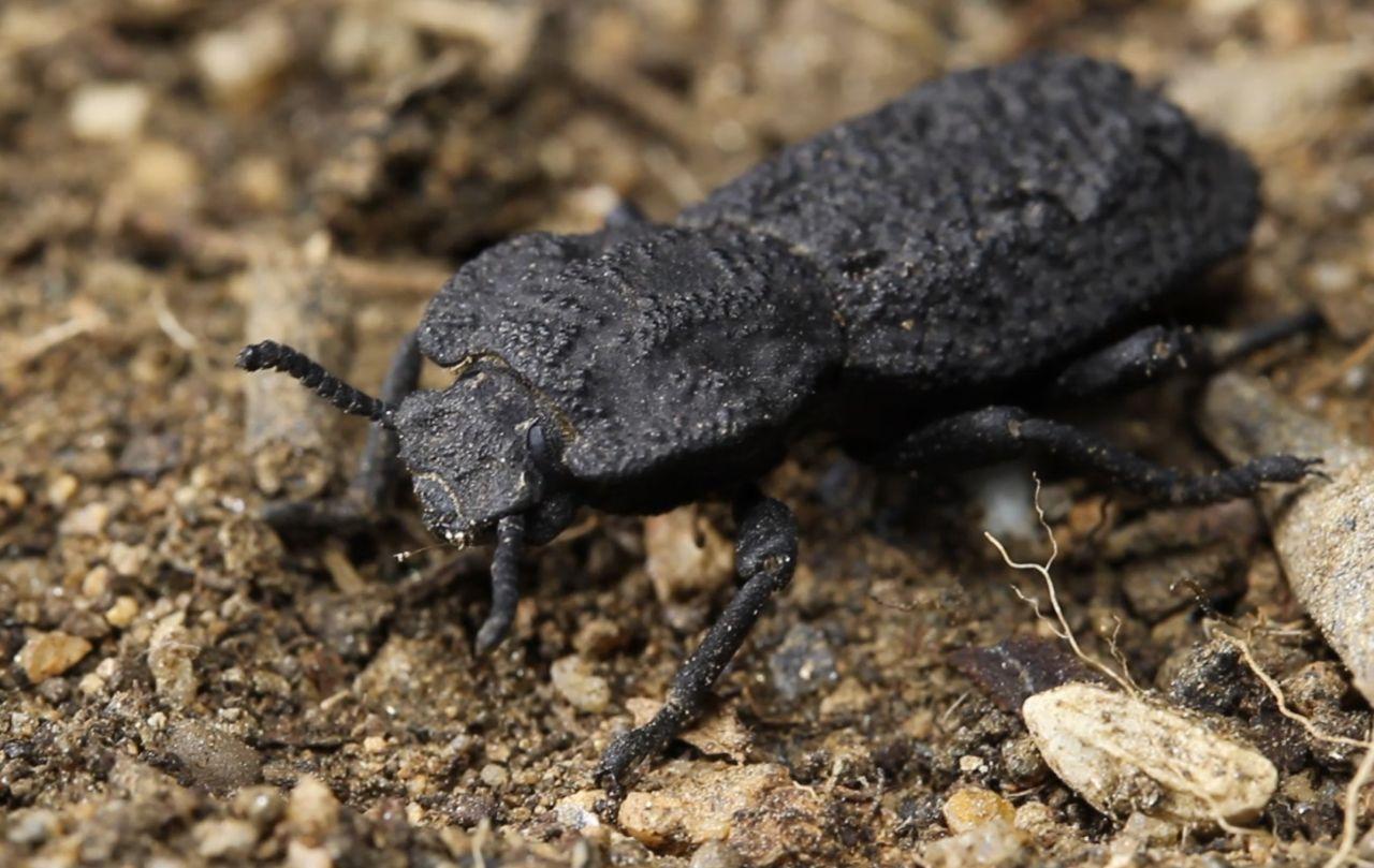 Tierischer Superheld: Der Diabolische Eiserne Käfer ist unzerstörbar