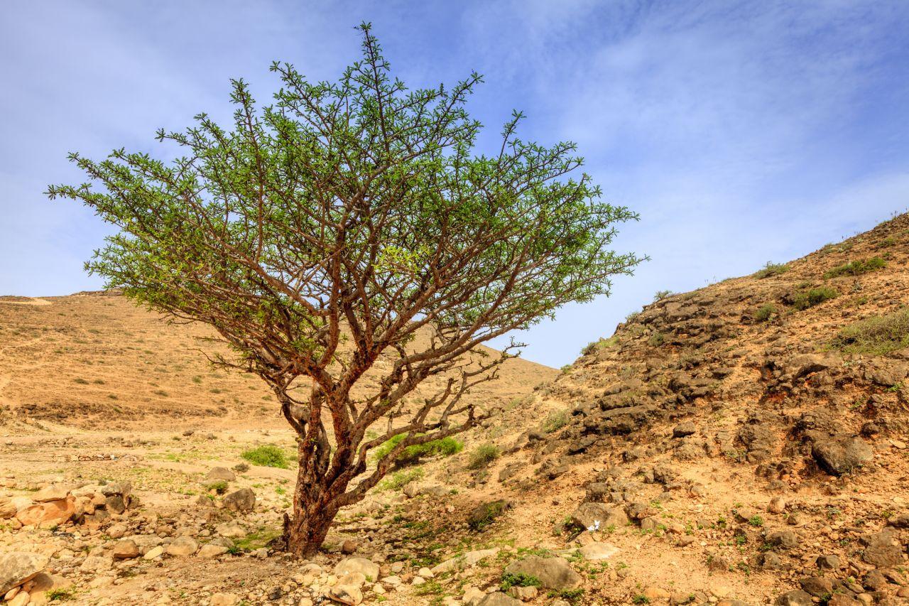 Boswellia-Baum in der Wüste
